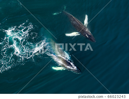 Aerial view of huge humpback whale, Iceland 66023243