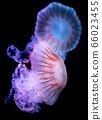 The Purple-striped Jellyfish (Chrysaora colorata) 66023455