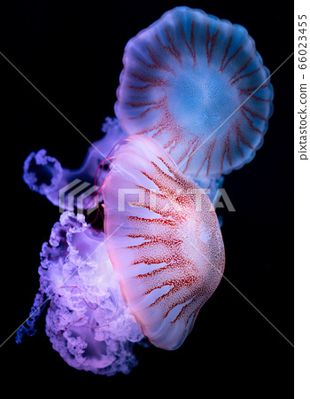 The Purple-striped Jellyfish (Chrysaora colorata) 66023455