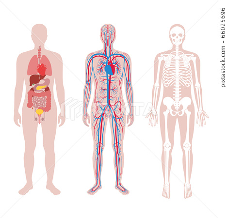 Internal structure of human body. 66025696