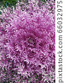 close up image of Ornamental Kale plant 66032975