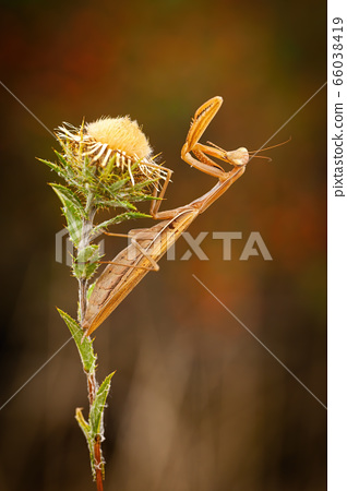 European mantis standing on a wildflower with joined front legs in summer 66038419