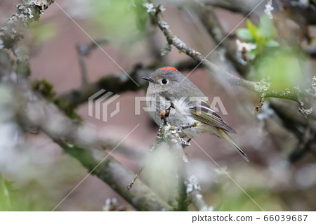 ruby crowned kinglet 66039687
