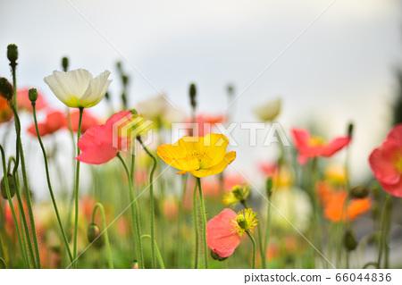 6월의 정원에 가득 피어난 칼라풀한 꽃양귀비들 66044836