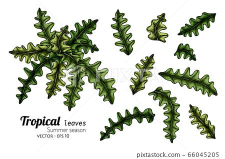 Set of Fern leaf drawing botanical illustration. 66045205