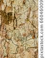 Close up Lichen fungi pad texture on tree bark 66046009