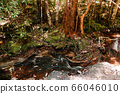 Green lush tropical forest moss growing on stones 66046010