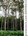 Green fern bush lush fresh pure natural forest 66046015