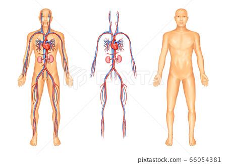Human blood vessel anatomy 66054381