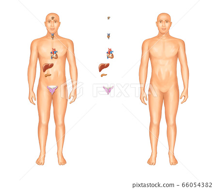 Human organ anatomy 66054382