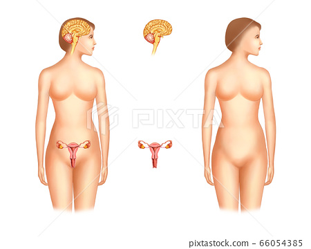 Anatomy of the pituitary gland and genitals in women 66054385