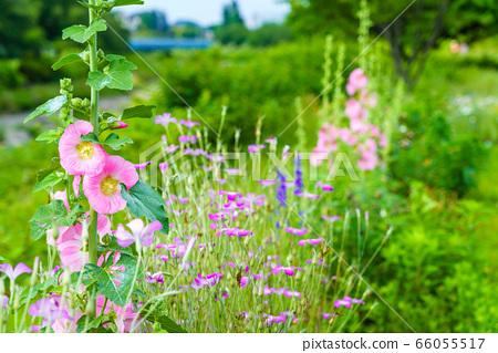 여름 꽃 타찌 아오이 66055517
