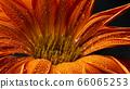 Beautiful drop of water Dew on petal 66065253