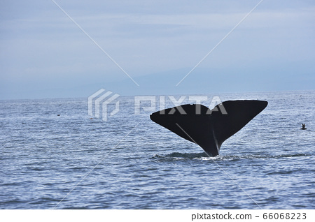 抹香鯨的尾鰭開始潛水(北海道勞速附近) 66068223