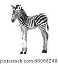 Zebras foal. 66068248
