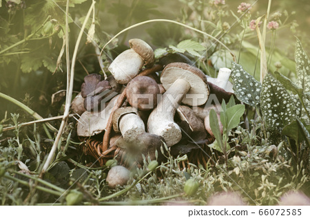 Basket with mushrooms. Delicious organic mushroom. 66072585