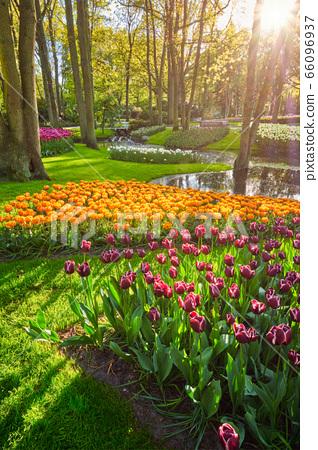 Keukenhof flower garden. Lisse, the Netherlands. 66096937