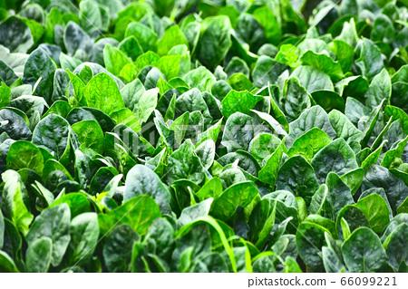 菠菜是一種富含鐵的健康食品,可在田間新鮮生長 66099221