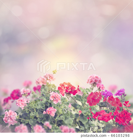 colorful geranium flowers in the garden 66103298