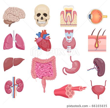 Internal human anatomy organ icon set. Vector 66103835