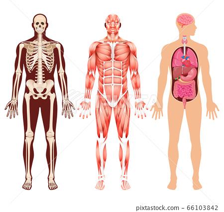 Human organ skeleton and muscular system vector 66103842