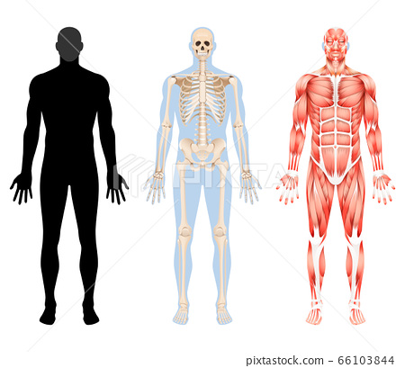 Human body skeleton and muscular system vector 66103844
