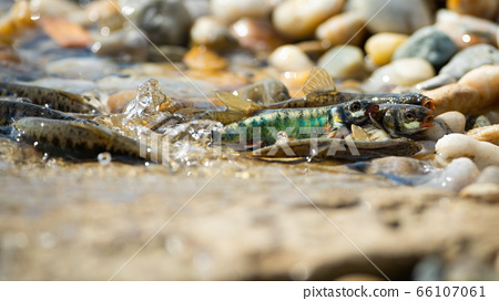 Common minnow reproducing on gravel in summer nature 66107061
