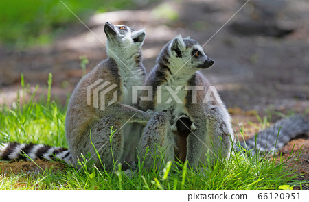 Ring-tailed lemur with a baby 66120951