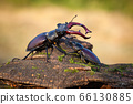 Male and female stag beetle standing together on tree trunk in summer 66130885