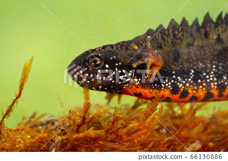 Close-up of danube crested newt diving in water in swamp 66130886