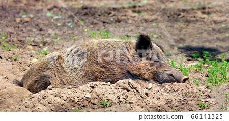 Wild boar sleeps peacefully buried in mud  66141325