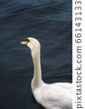 Swan on dark blue water on Limmat river. Waterbird 66143133