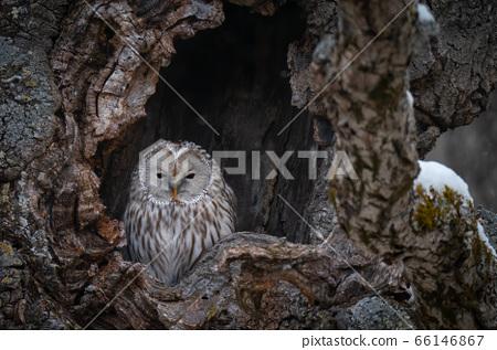 A Great Gray owl perches inside a tree-hole in Hokkaido, Japan 66146867