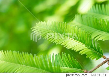 水杉綠色新鮮綠色幼葉(5月) 66151061