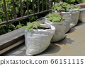 紅薯陽台沙袋種植 66151115