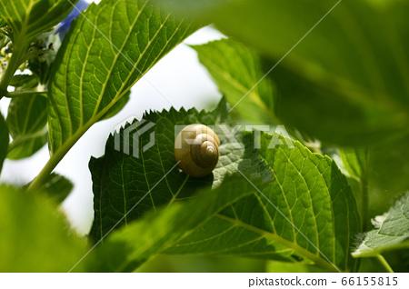 수국의 잎과 달팽이 66155815
