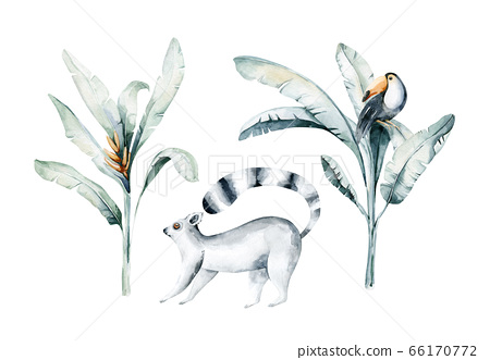 Watercolor illustration of a lemur in white background. Madagascar fauna zoo exotic lemurs animal. Tropical design poster 66170772