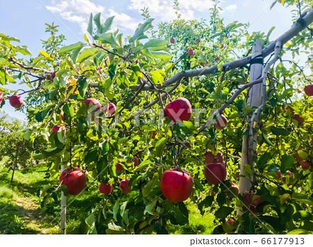 Apple Trees 66177913