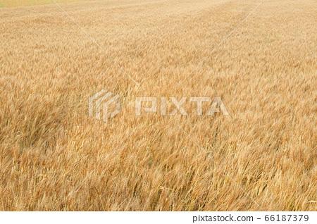 초여름 보리밭 66187379