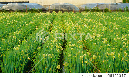 white-flowered onion at the field 66193357