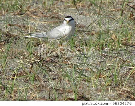 Core tern at a nesting site on Kemigawahama 66204276