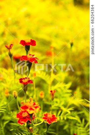 빨간꽃과 노란배경 66204364