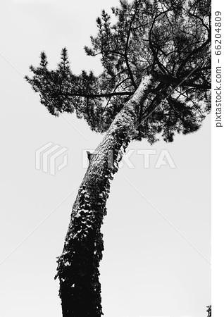 一棵漂亮的松樹 66204809
