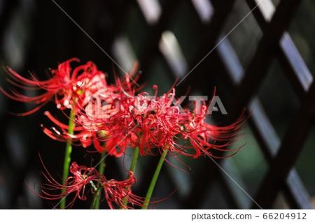꽃무릇 숲 66204912