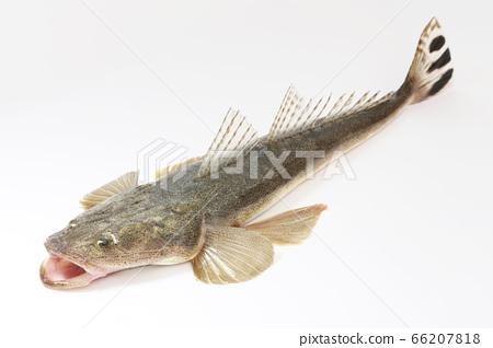 got Bartail平頭鯖魚潮魚 66207818