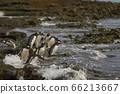 Gentoo Penguins go to sea in the Falkland Islands 66213667