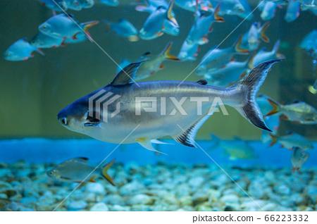 Iridescent shark, Striped catfish, Sutchi catfish 66223332