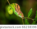 Colorful chameleon on a branch of a tree 66238396