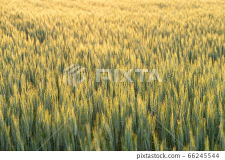 小麥被夕陽照亮(五月) 66245544