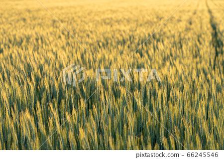 小麥被夕陽照亮(五月) 66245546